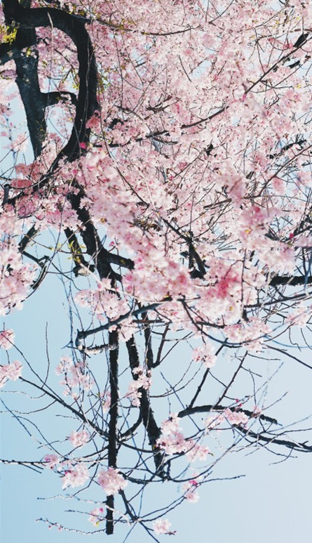 大理三月,红了樱花,青了黛瓦!